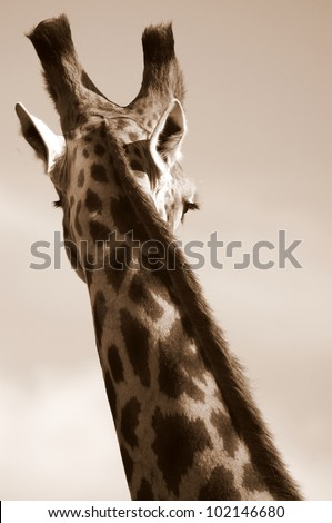 A monochrome photo of an elegant giraffe. Showing off its beautiful curves. Eastern cape,south africa - stock photo