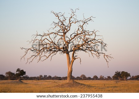 A moody shot of a winter bare tree in an open plain under a clear late afternoon sky in Hwange National Park, Zimbabwe. - stock photo