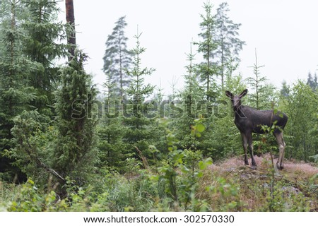 A moose calf of roadside an rainy evening in Sweden. - stock photo