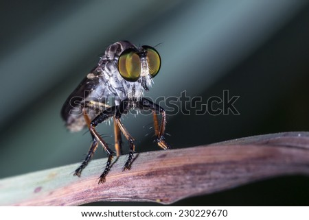 A mosquito Look-alike Robber Fly - stock photo