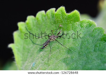 A mosquito resting on a green leaf - stock photo