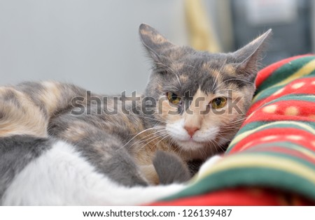 A mostly grey, but multi-colored, cat rests on a fleece blanket - sleepy