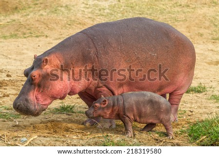 A mother and baby hippo walk near the Kazinga Channel in Uganda. - stock photo