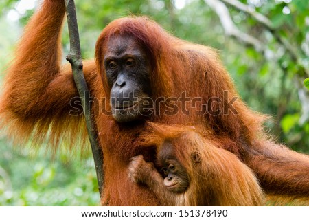 A mother and baby Orangutan in the jungles of Indonesia - stock photo