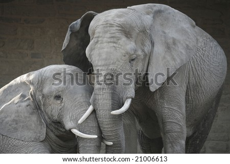 A mother and child elephant in love, cuddling.