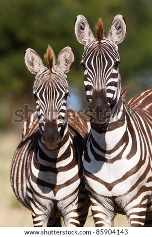 A mother Burchell's zebra next to her young foal - stock photo