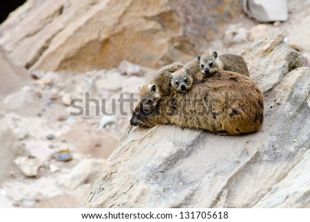 A mother Dassie lies on a rock with 3 children on top of her