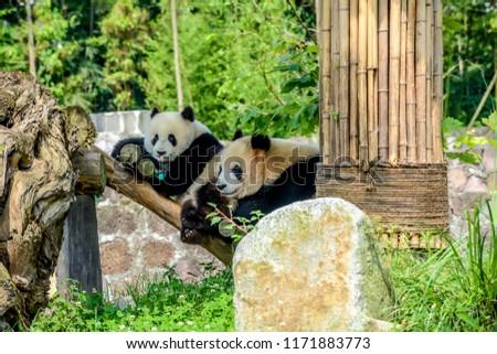 stock-photo-a-mother-giant-panda-bear-pl