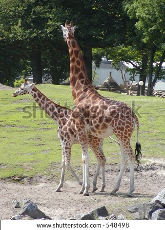 A mother giraffe and her child - stock photo