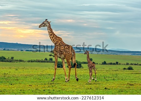 A mother giraffe with her baby. Maasai Mara National Reserve, Kenya. - stock photo
