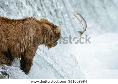 A mother grizzly bear misses an opportunity to catch a salmon which jumps upstream too far away for her to catch it  - Brook Falls - Alaska - stock photo