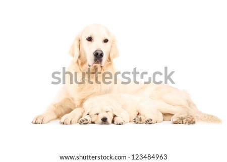 A mother labrador retreiver with her baby dog posing isolated against white background