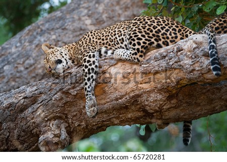 A mother leopard and her cub sleeping on the same branch in a tree. - stock photo