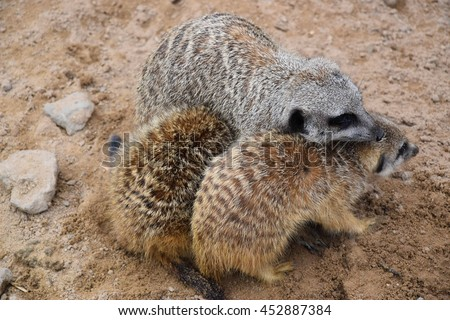 A mother meerkat and her offspring - stock photo