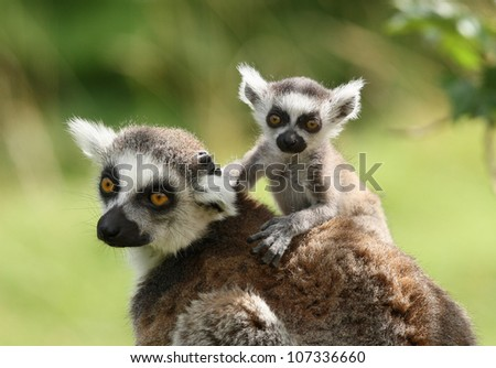 A mother Ring-Tailed Lemur with her babies - stock photo