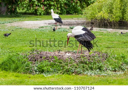 A mother stork feeding its young saplings, the mother gives the food that she has herself digested beforehand - stock photo