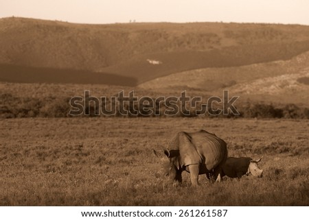 A mother white rhinoceros / rhino and her calf grazing in this image.