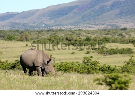 A mother white rhinoceros / rhino and her calf grazing in this image. - stock photo