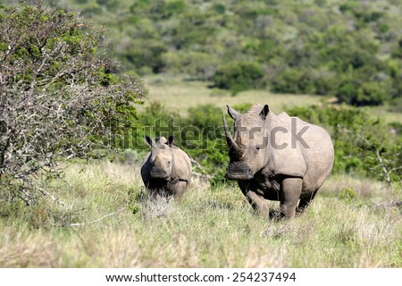 A mother white rhinoceros / rhino and her calf in this sepia tone image. - stock photo