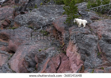 A mountain goat considers his next leap. - stock photo