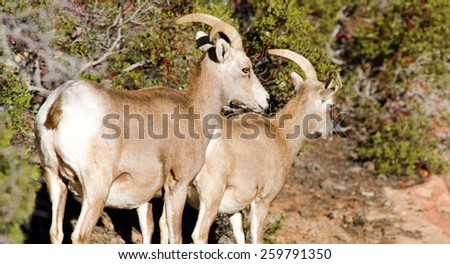 A mountain goat pair forages for food around the mountainside - stock photo