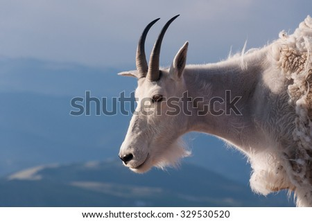 A mountain goat stand proudly, high in the rocky mountains