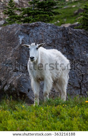 A mountain goat walking