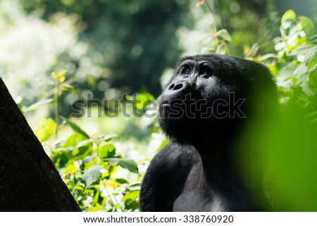 A mountain gorilla in the Bwindi Impenetrable Forest in Uganda is looking into the trees. - stock photo