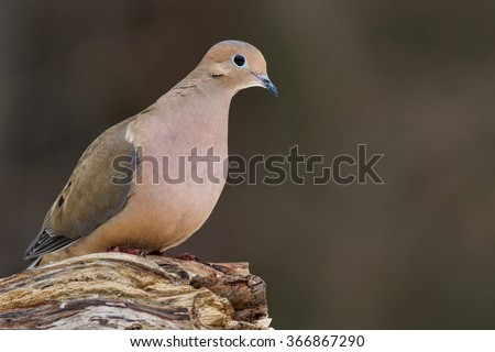 A mourning dove perched on a log. - stock photo