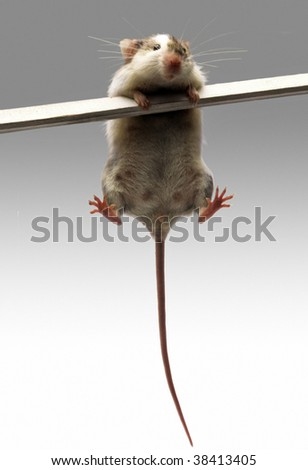 A mouse balancing on a stick on white background. - stock photo