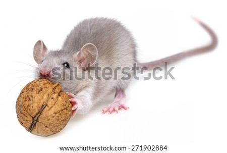 a mouse eating a nut - stock photo