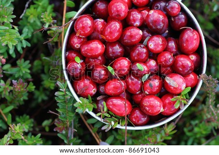 A mug with just picked fresh cranberries. Mug is lying on the ground in a swamp with the complementary greenery visible. Top view. Clouds are reflecting on wet berries. - stock photo