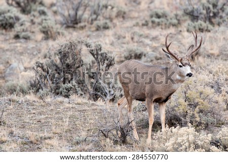 A mule deer buck looking at photographer - stock photo