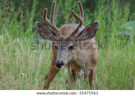 A mule deer grazing on summer grasses and plants in Zion National Park - stock photo