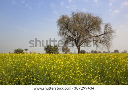 a mustard crop in the springtime in rajasthan, india with bright yellow flowers and a bre tree under a blue sky