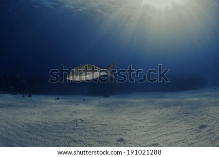 A mutton snapper swims over the sand under the sun, Grand Cayman - stock photo