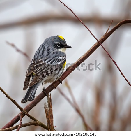 A Myrtle Warbler perched on a branch.