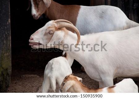 A nanny goat bleats in a barnyard. - stock photo