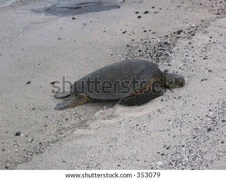 A napping sea turtle on the beaches of the Big Island, Hawaii in Kaloko-Honokohau National Historic Park . - stock photo