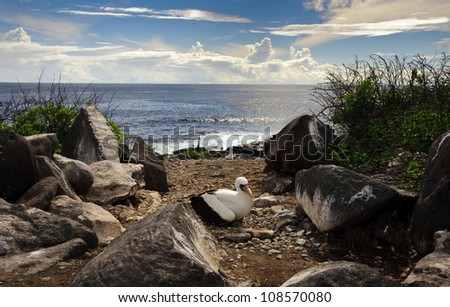 A Nasca booby sits on its nest in the middle of a trail in the Galapagos Islands, with the Pacific Ocean behind it. - stock photo