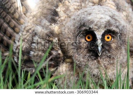 A Natural, Wild Long-eared Owlet (Asio otus) portrait. Showing display posture. Taken in the Angus Glens, Scotland, UK. - stock photo