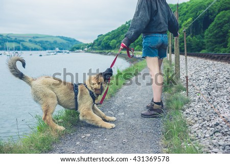 A naughty dog is pulling on his leash and almost falling into a lake - stock photo