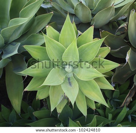 A nearly symmetrical agave plant in a garden in California. - stock photo