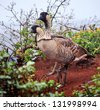 A Nene pair. Hawaii's State Bird, the Nene Goose descended from the Canadian goose is endangered and is protected. Nene Geese are to be seen at Kilauea Point National Wild Life Refuge - stock photo