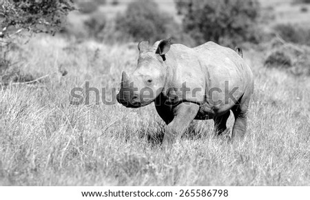A new born white rhino in this black and white portrait image. - stock photo