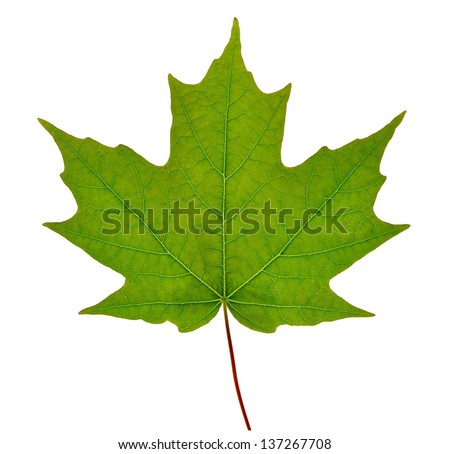 A new spring Sugar Maple leaf (Acer saccharum) isolated on a white background. - stock photo