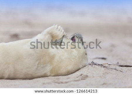 a newborn a grey seal at the beach of Helgoland