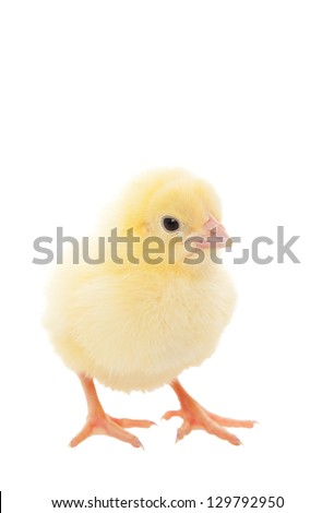 A newborn baby chick on white background. - stock photo