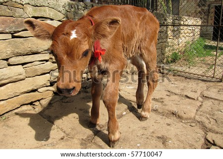 A newborn calf standing by the farm wall - stock photo