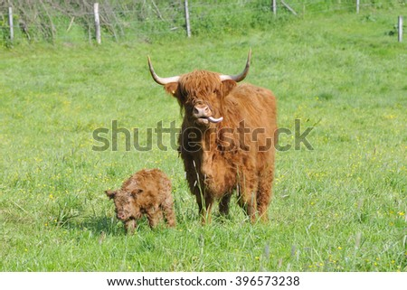A newborn highland cattle on a meadow.  - stock photo